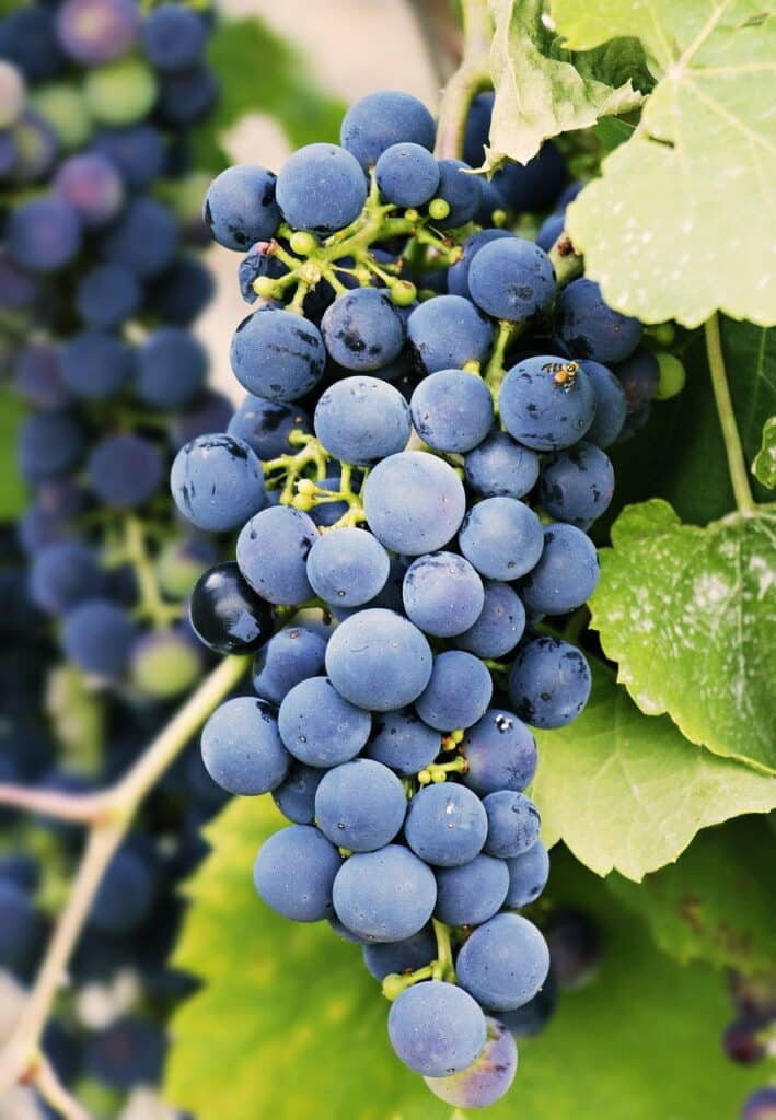 grapes, grapevine, vine